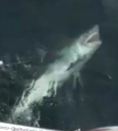 Connor O'Reillys großer Heringshai